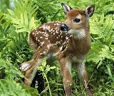 郊野外的梅花鹿